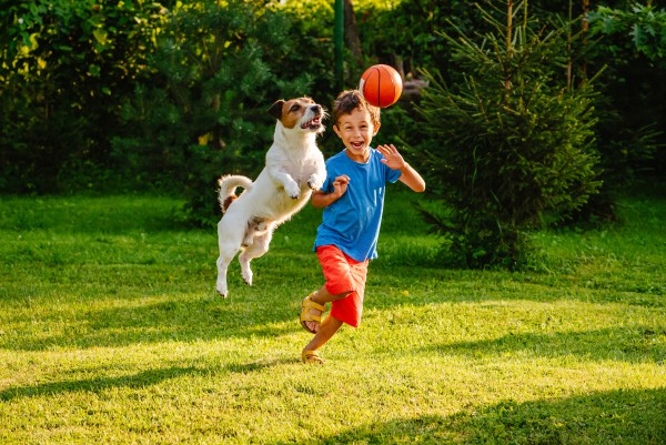 Jack Russell Terrier jumping to catch ball